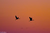 Sandhill Cranes flying at sunset in Central Valley 1-2012 #5