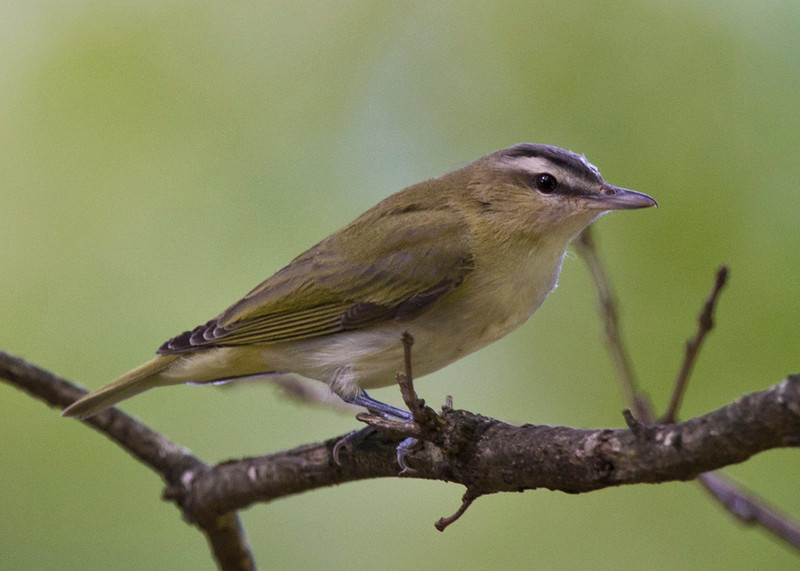 Red-eyed Vireo juvenile