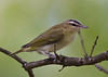 Red-eyed Vireo juvenile