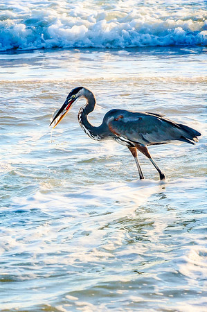 A Heron With Breakfast