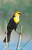 As if on stilts yellow-headed black birds frequent the marsh areas of northern Nevada keeping the bug population in check as well as adding high-pitched raspy songs that fill the morning air.