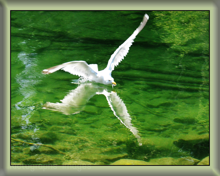 Lake Superior, Fresh Water, Seagull