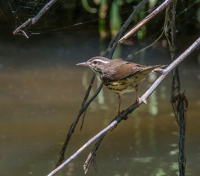 Louisiana Waterthrush 23 May 3013
