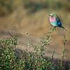 Lilac-breasted Roller (Coracias caudatus)<br /> Masai Mara National Park, Kenya<br /> IUCN Status: Least Concern