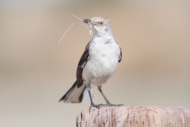 Northern Mockingbird - Shoreline Slough, California 2017