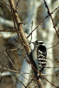 Female downey woodpecker