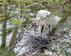 Cattle Egret repositioning itself on the nest.  There is one fuzzy chick just hatched and two blue eggs.