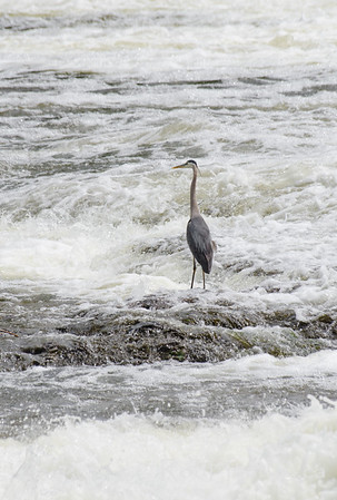 Great Blue Heron in the rapids below the waterfalls at Carleton Place, Ontario.