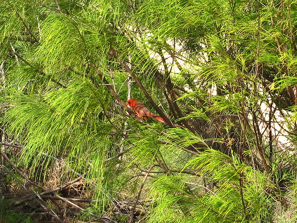 Cardinal with a yellow bill