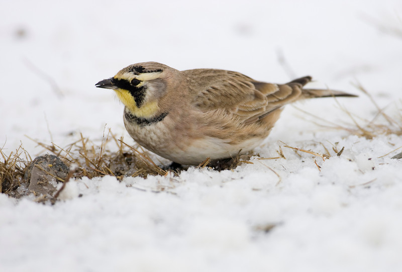 Horned Lark - western Lucas County - January 2009