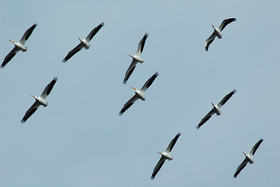 Pelicans at Sepulveda Basin Wildlife Reserve