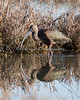 White-faced Ibis    (4/12/2014)