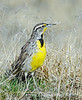 Meadow lark searching the early morning meadow for breakfast.