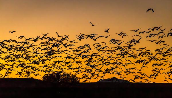 Morning Flight of Geese