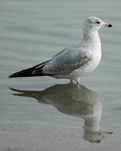 Gull symmetry