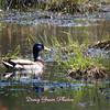 Malard Duck
