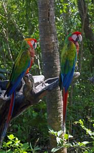 Staring Parrot Pair