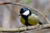 Great Tit<br /> Hyde Park, London, England