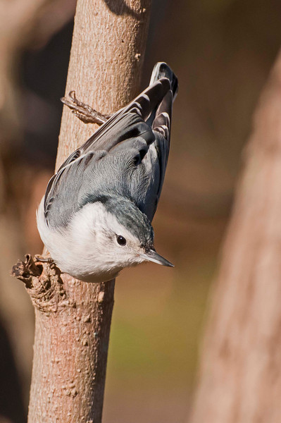 Nuthatch, Beaver Marsh, 10/20/10.