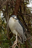 Black-crowned Night Heron, San Diego, California