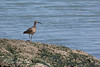 Whimbrel on the shoreline at Oyster Point Marina