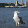 Seagull in NYC.