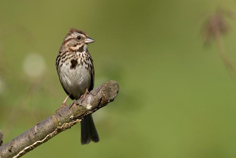 Song Sparrow - May 2007