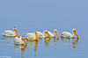 White Pelicans at Bodega Bay 6-1-14 #21-2