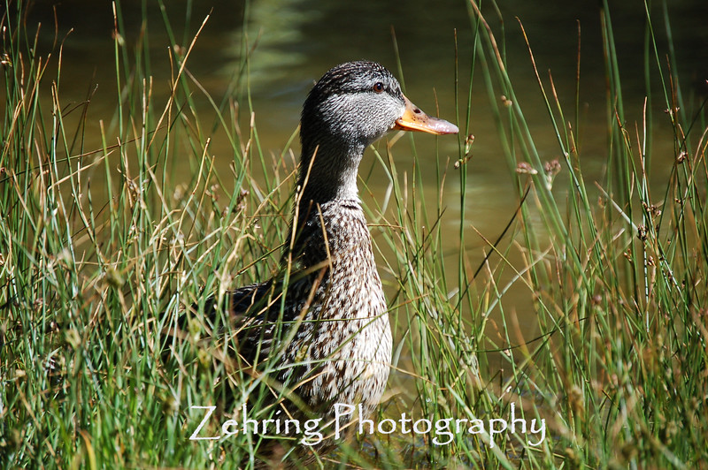 Scouting for food, a female mallard duck surveys the area.