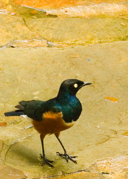 Superb Starling {Lamprotornis superbus}<br /> Jurong Bird Park Singapore <br /> © WEOttinger, The Wildflower Hunter - All rights reserved<br /> For educational use only - this image, or derivative works, can not be used, published, distributed or sold without written permission of the owner.