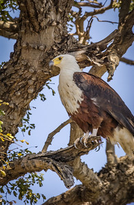 African Fish Eagle Near Nest