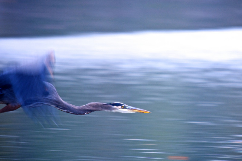 Great Blue Heron (Ardea herodias)<br /> Williamsburg, Virginia, USA<br /> IUCN Status: Least Concern
