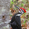 Mr. Pileated Woodpecker  1