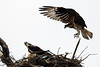Osprey pairing up<br /> Occoquan NWR<br /> Fairfax County, Virginia<br /> March 2009