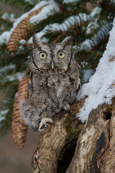 Eastern Screech Owl - February 2013