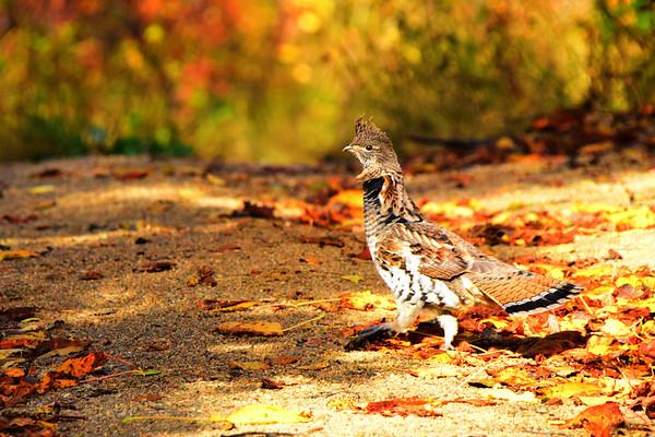 Partridge, Bird, Beauty