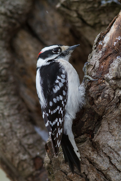 Downy Woodpecker - March 2013