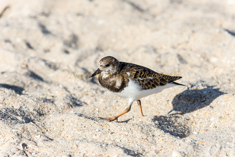 Shore Bird--Sandpiper