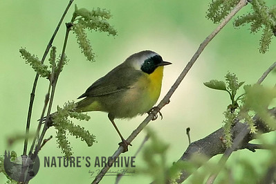 Common Yellowthroat, Omaha, NE