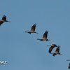 Demoiselle Cranes in Flight 2