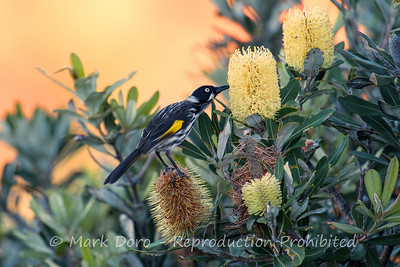 New Holland Honeyeater in the bankisa, Tea Gardens, NSW