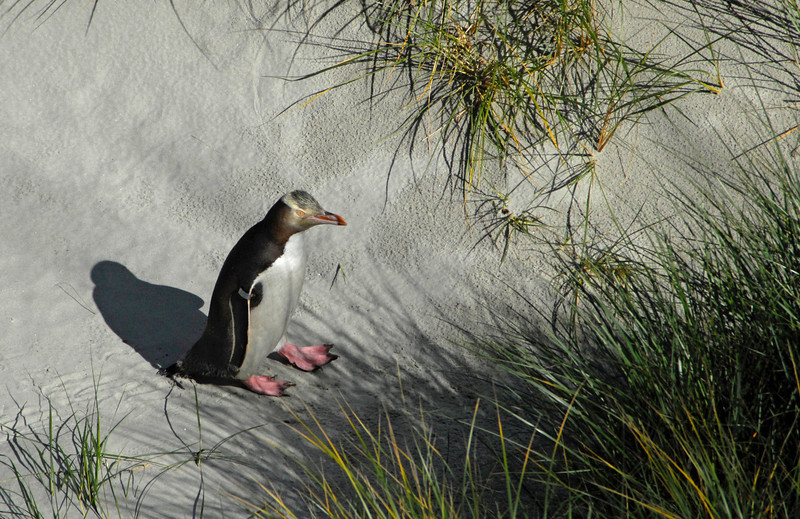 Yellow-eyed Penguin returning from a day of fishing - Otago Peninsula, New Zealand