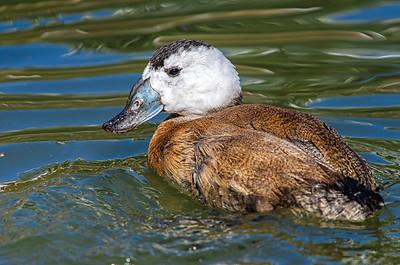 White Headed Duck