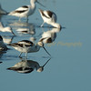 The Avocet Feeding Parade