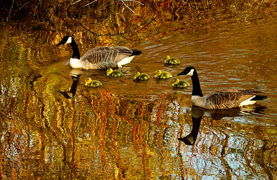 Geese Out For A Swim