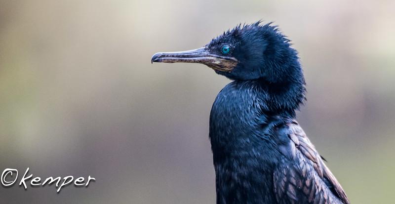 Indian Cormorant 3