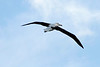 Royal Albatross in flight  over Taiaroa Head, Otago Peninsula, New Zealand
