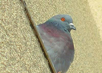 Pigeon A Bird
