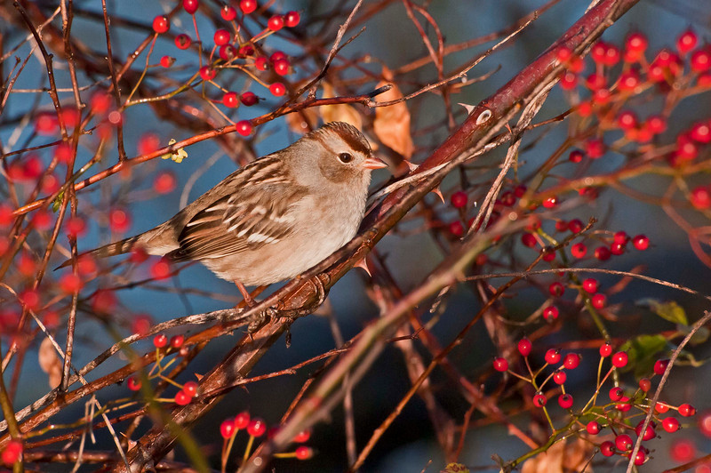 Field Sparrow, Beaver Marsh, 10/20/10.