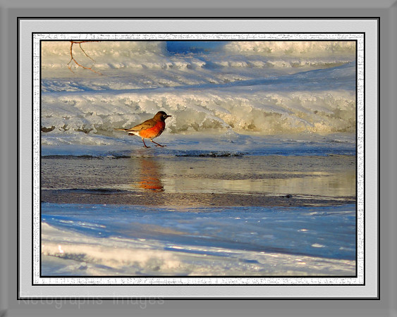 A Robin Searches For Substanence In The Snowy Ice,  Rictographs Images